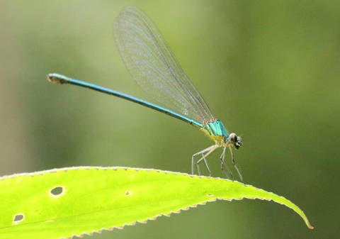 Dragonfly in Western Ghats, Indien (Photo: H. Joosten)